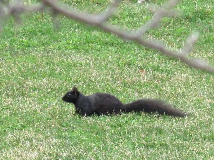 Gros écureuil noir ?